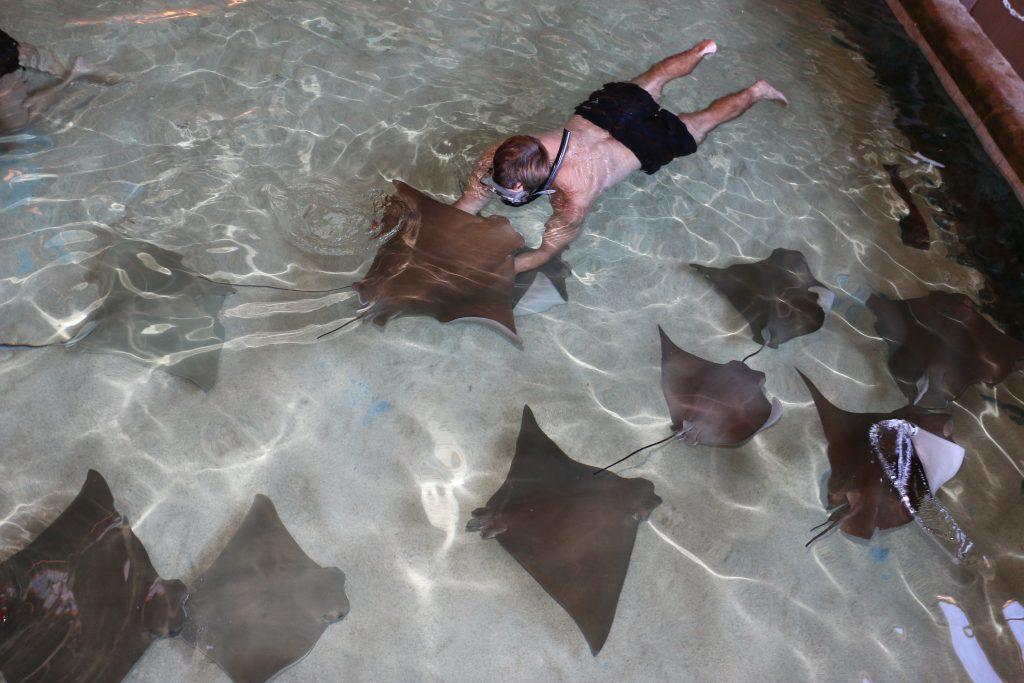 Man Snorkeling with Stingray at Gulf World Marine Park