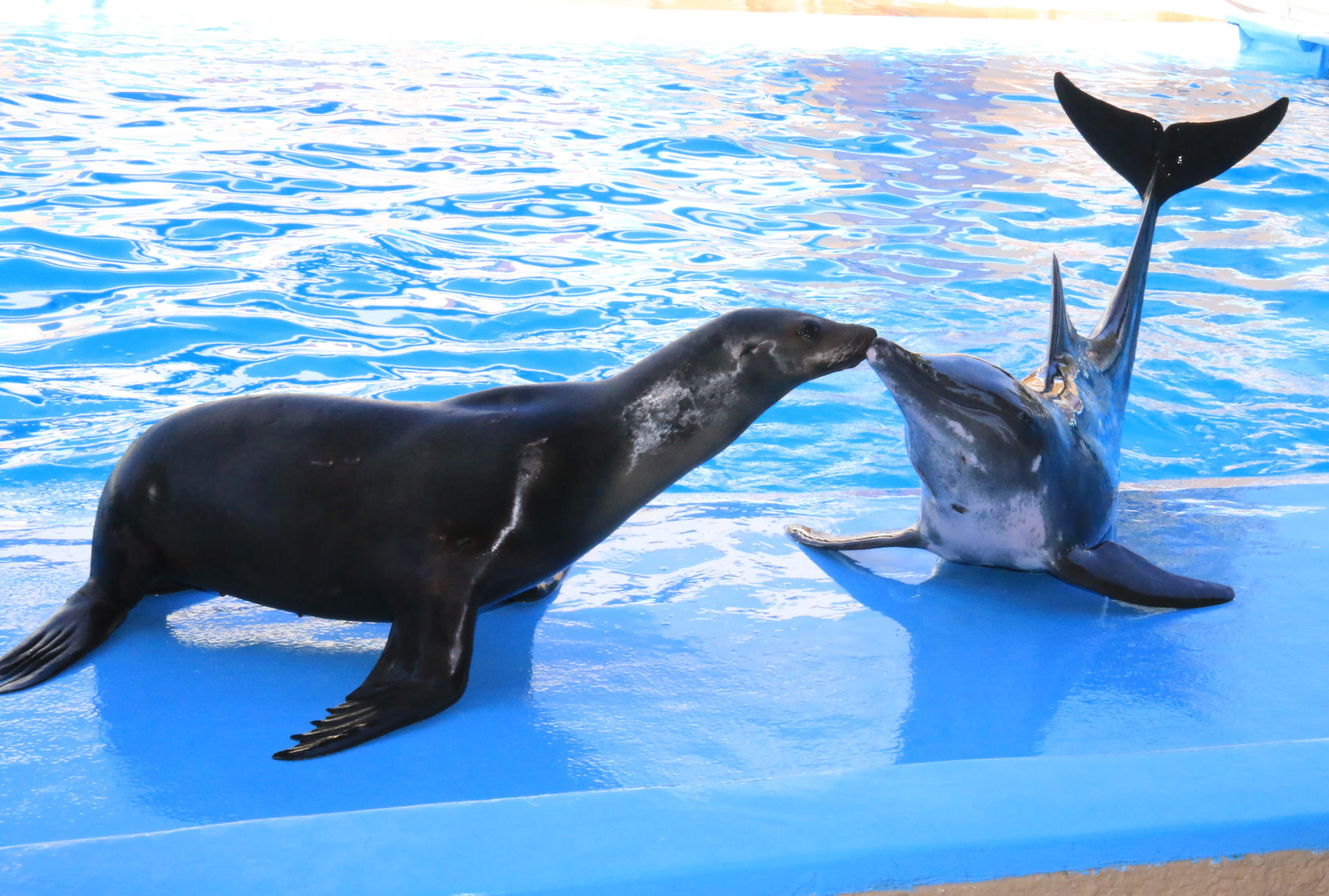 Sea Lion & Rough Toothed Dolphin Show - Gulf World Marine Park